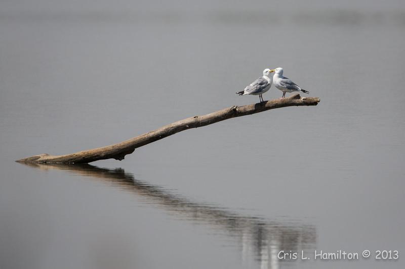 Gull_9272
