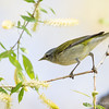 Tennessee Warbler_9242