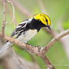 Black-throated Green Warbler_9533