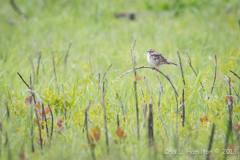 Lark Sparrow_0718