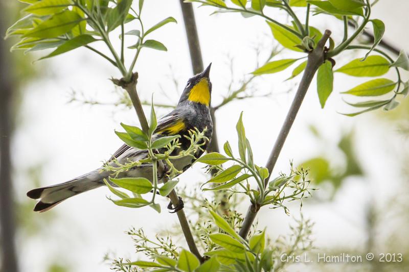 Audubon's Yellow-rumped Warbler_9555