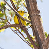 Yellow Warbler_9289