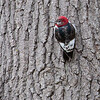 Red-headed Woodpecker_0446