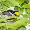 Magnolia Warbler_9698