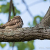Common Nighthawk_9027