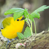 Prothonotary Warbler_1211