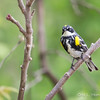 Yellow-rumped Warbler_9624
