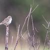 Lark Sparrow_0755