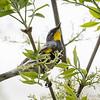 Audubon's Yellow-rumped Warbler_9556