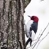 Red-headed Woodpecker_0588