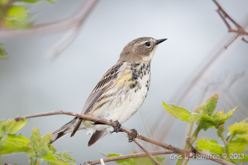 Yellow-rumped Warbler_9539