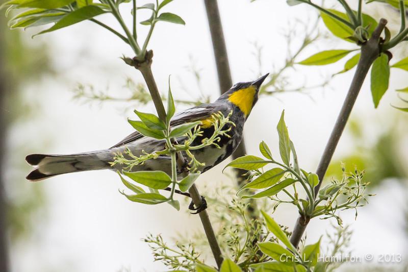 Audubon's Yellow-rumped Warbler_9561