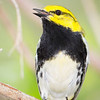 Black-throated Green Warbler_9534