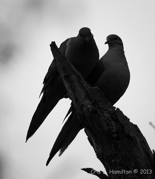 Mourning Dove (parents)_9708