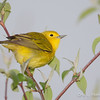 Yellow Warbler Female-9811