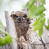 Great Horned Owl chick-0287