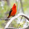 Scarlet Tanager_9511