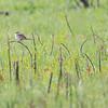 Lark Sparrow_0717