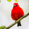Scarlet Tanager_0395
