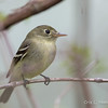 Yellow-bellied Flycatcher_9637