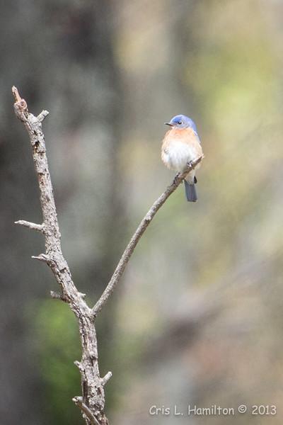 Bluebird_0484