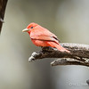 Summer Tanager_5-12-0512
