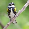 Yellow-rumped Warbler_9625
