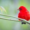 Scarlet Tanager_0387