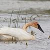 Trumpeter Swan-1490