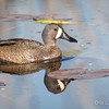 Blue-winged Teal_9060
