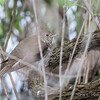 Gray-cheeked Thrush_8972
