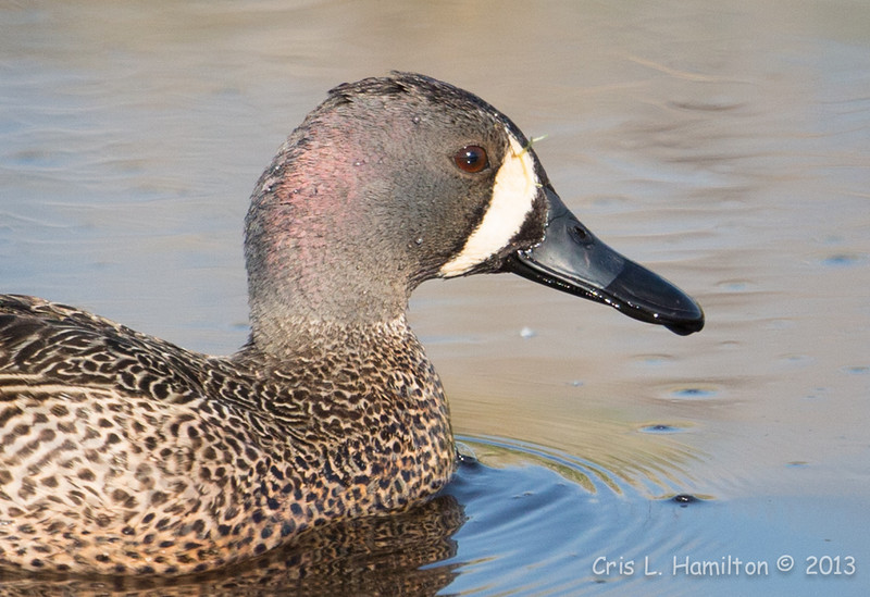 Blue-winged Teal_9065