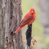 Summer Tanager_0629