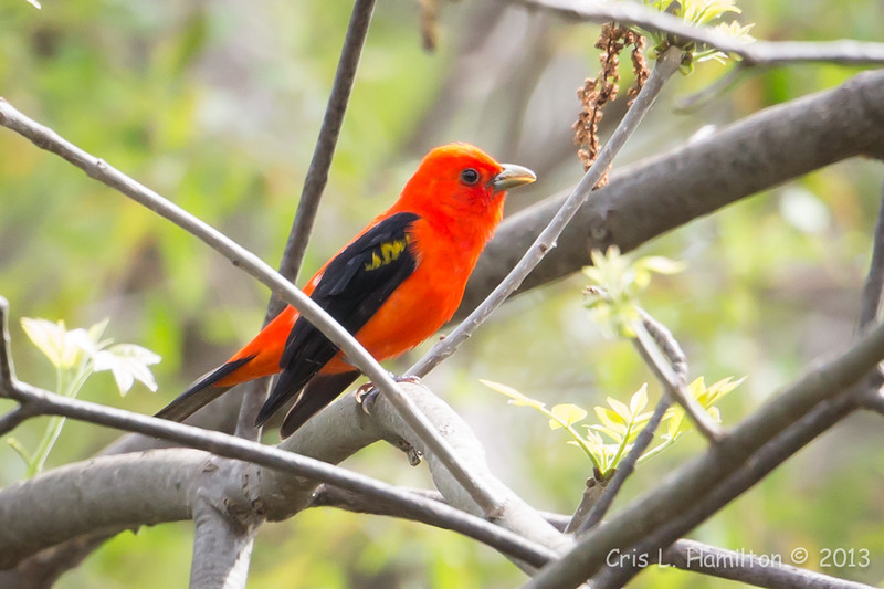 Scarlet Tanager_9514