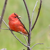 Summer Tanager_5-12-0501