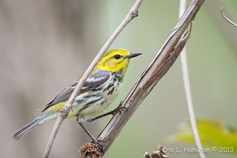 Black-throated Green Warbler_9612