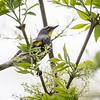 Audubon's Yellow-rumped Warbler_9557