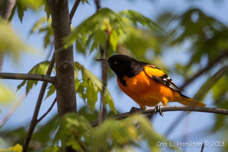 Baltimore Oriole_9259
