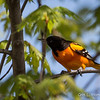 Baltimore Oriole_9259
