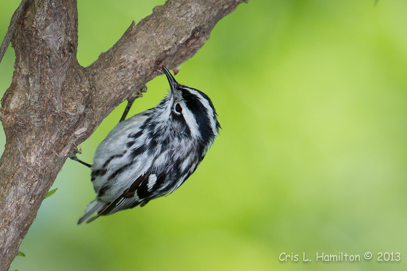 Black-and-White Warbler_1077