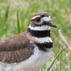 Killdeer_9361