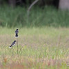 Eastern Kingbirds_0768
