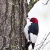 Red-headed Woodpecker_0585