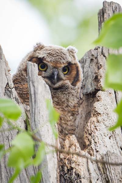 Great Horned Owl chick-0342