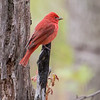 Summer Tanager_0626