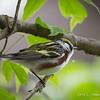 Chestnut-sided Warbler-9784