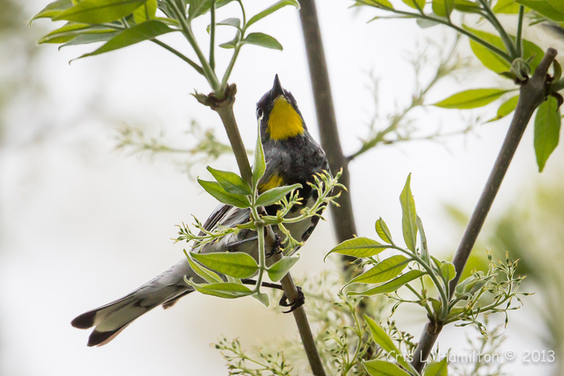 Audubon's Yellow-rumped Warbler_9563