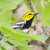 Black-throated Green Warbler_9535