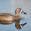 Blue-winged Teal_9070