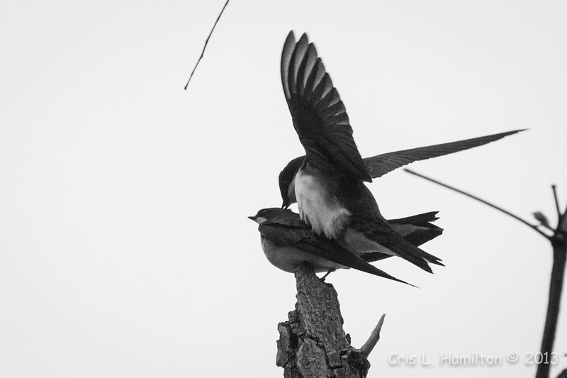 Tree Swallow_8976